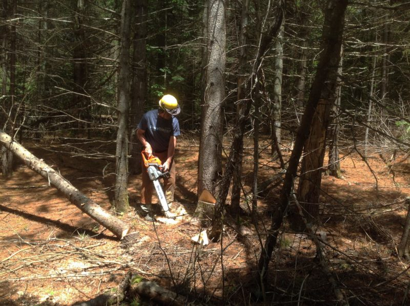 Bill Manning fells a tamarack (Larix laricina), for use in the stem, frames, gussets, transom knee, and centerboard trunk bedlog, in locations where the species' rot-resistance and durability are vital.