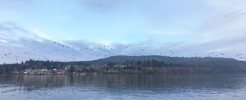 Cathlamet is not on the shipping channel so I didn't have to be alert for traffic as I crossed to Puget Island. As long as I paid attention to the current I could dawdle, drifting, and take photos of the scaups as they circle and fly upstream.