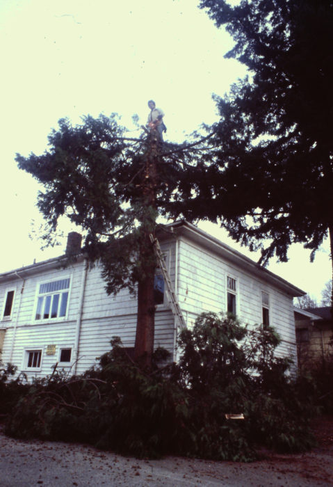 On a few occasions I've harvested trees that had to come down. This western red cedar was threatening to crack the foundation a friends home in Seattle. Some of the wood from this tree became floorboards for a Gokstad faering.