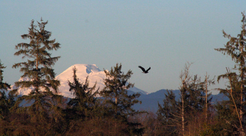 Mt. Baker loomed over the sloughs. In my 20s I had twice climbed the left flank and looked out over the sloughs from the summit. A bald eagle took to the air when BONZO motored beneath his perch.