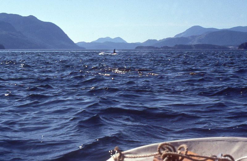 """After my """"close encounter,"""" with an orca, this bull left me and headed west along Johnstone Strait."""