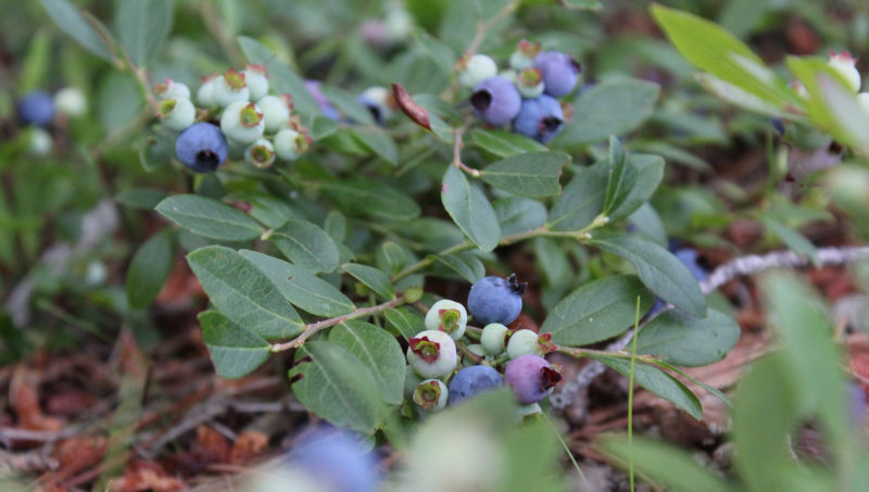 All along the Michigan shore, these little blue zingers abounded. We ate them by the handful and made blueberry pancakes, blueberry scones, blueberry crumble, blueberry bread, blueberry cake, blueberry jam, and blueberry granola.